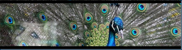 peacock w_me 770x207 - blog_somedays